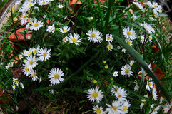 Одичалые белые цветки в Арлингтоне, Вирджиния Стоковая Фотография