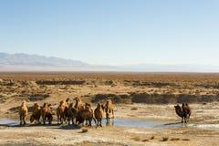 Одичалые верблюды в Цинхае Китае Стоковое Изображение