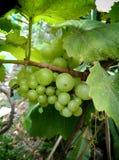 Одичалые виноградины Стоковые Изображения