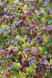 Одичалые виноградины Стоковые Фотографии RF