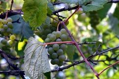 Одичалые виноградины Стоковое Фото