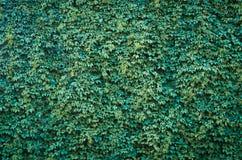 Одичалые виноградины Стоковое фото RF