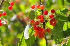 Одичалые вишни на ветви Стоковое Фото