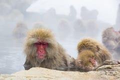 Одичалые выражения лица обезьяны снега: Полусон Стоковые Изображения