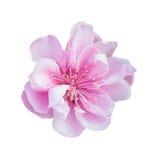 Одичалые гималайские вишня или цветок Сакуры Стоковая Фотография RF