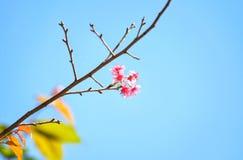 Одичалые гималайские цветки вишни Стоковая Фотография