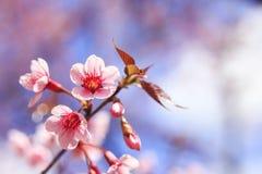 Одичалые гималайские цветки вишни Стоковая Фотография RF