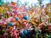 Одичалые голубики предусматриванные в росе Стоковое Фото
