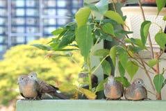 Одичалые голуби зебры ослабляя на балконе кондо, Бангкоке Стоковое Изображение RF
