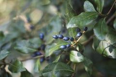 Одичалые голубые ягоды Стоковое Изображение
