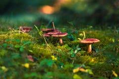 Одичалые грибы с естественной предпосылкой Стоковая Фотография RF