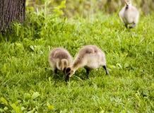 Одичалые гусыни в заповедниках леса и реке Des Plaines Иллинойса США Стоковое Фото