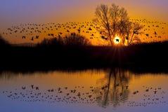 Одичалые гусыни на оранжевом заходе солнца Стоковая Фотография