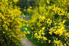 Одичалые желтые цветки среди зеленого цвета Стоковое Изображение