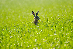 Одичалые зайцы в поле Стоковые Фотографии RF
