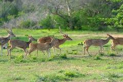 Одичалые запятнанные олени стоковое изображение rf