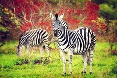 Одичалые зебры африканского материка Стоковая Фотография RF