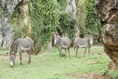 Одичалые зебры в одичалом Стоковые Фотографии RF