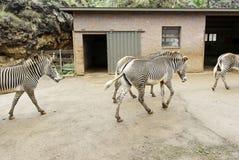 Одичалые зебры в одичалом Стоковые Изображения