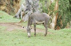 Одичалые зебры в одичалом Стоковая Фотография