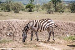 Одичалые зебры засевая травой на саванне, Кении Стоковые Изображения RF
