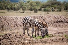 Одичалые зебры засевая травой на саванне, Кении Стоковое Изображение RF