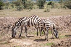 Одичалые зебры засевая травой на саванне, Кении Стоковые Фото