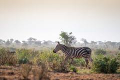 Одичалые зебры на саванне, Кении, Африке Стоковые Фото