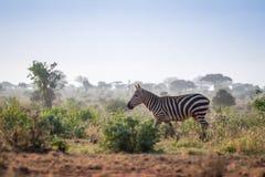 Одичалые зебры на саванне, Кении, Африке Стоковое Фото