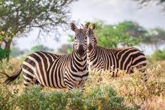 Одичалые зебры на саванне, Кении Стоковое Изображение RF