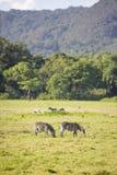 Одичалые зебры пася в Африке Стоковая Фотография RF