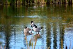 Одичалые канадские гусыни в пруде Стоковые Изображения RF