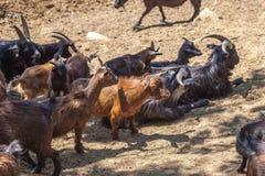 Одичалые козы в зоопарке Тбилиси, фауне Стоковые Изображения