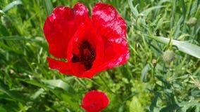 Одичалые красные цветки мака в природе Стоковая Фотография RF