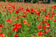 Одичалые маки зацветая в поле just rained Стоковая Фотография