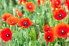 Одичалые маки растя в поле Стоковая Фотография RF