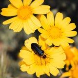 Одичалые маргаритки и жук Стоковая Фотография