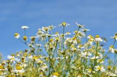 Одичалые маргаритки поля Стоковое Изображение
