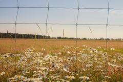 Одичалые маргаритки растя загородкой Стоковые Изображения RF