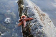 Одичалые морские звёзды Стоковые Фотографии RF