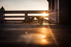 Одичалые обезьяны макаки воюя на заходе солнца Стоковые Изображения RF
