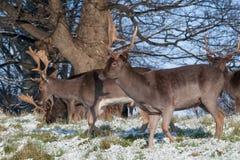Одичалые олени в парке Феникса, Дублин, Ирландия Стоковые Фото