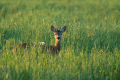 Одичалые олени косуль в лете стоковая фотография