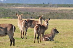 Одичалые олени ringtail Стоковое Изображение RF