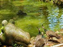 Одичалые павлины рядом с статуей и прудом камня лягушки Стоковые Фотографии RF