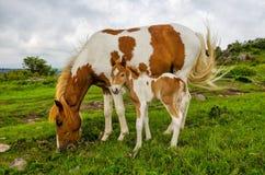 Одичалые пони, гористые местности Grayson, Вирджиния стоковое фото rf