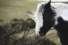 Одичалые пони и лошади, снег, национальный парк маяков brecon стоковая фотография rf