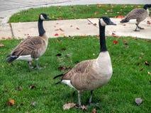 Одичалые птицы гусынь Канады Стоковые Изображения