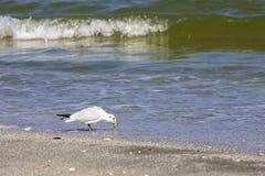 Одичалые птицы на румынском пляже Стоковые Изображения RF