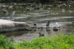 Одичалые птицы на утесах потока Стоковое Изображение